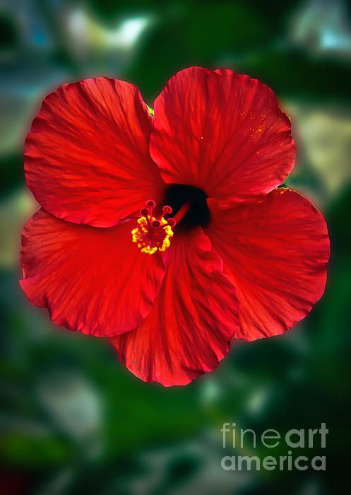 Colourful Red Hibiscus Flower Hibiscus Red Hibiscus Plant Hibiscus Hibiscus Flowers