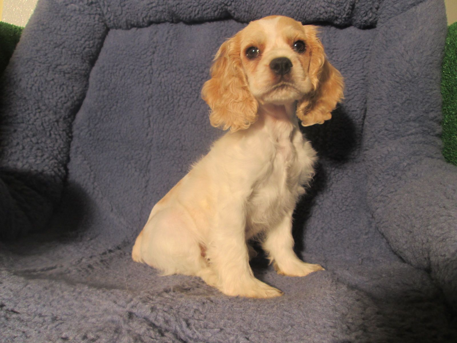 Regal Cocker Spaniel Puppies Available 8 12 Weeks Of Age Permanent Shots And Wormings Completed Along Wi Puppies Cocker Spaniel Puppies Spaniel Puppies