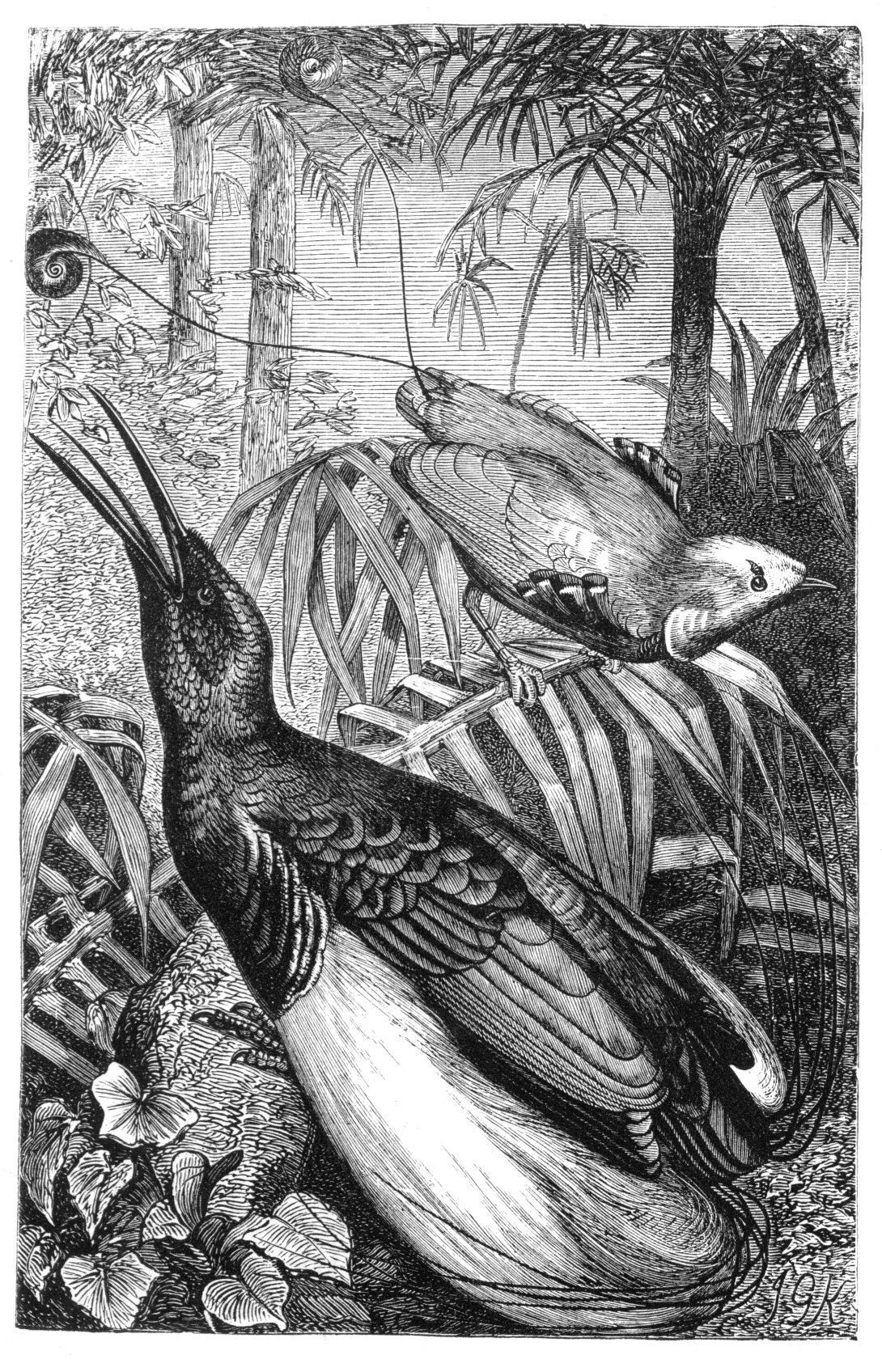 Malay_Archipelago_King_and_Twelve-wired_Birds_of_Paradise.jpg 1,090×1,696 pixels