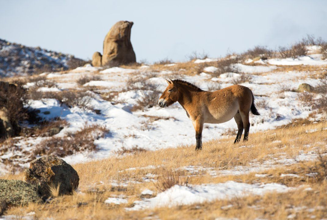 Once nearly extinct, the population of these wild horses has rebounded on the dusty steppes of Mongolia