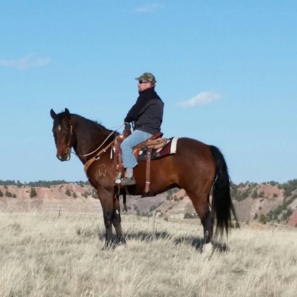Hank - Bay  Quarter Horse Gelding in Gillette, Wyoming 82718... Love him!!! Need to get a better home and land for him first