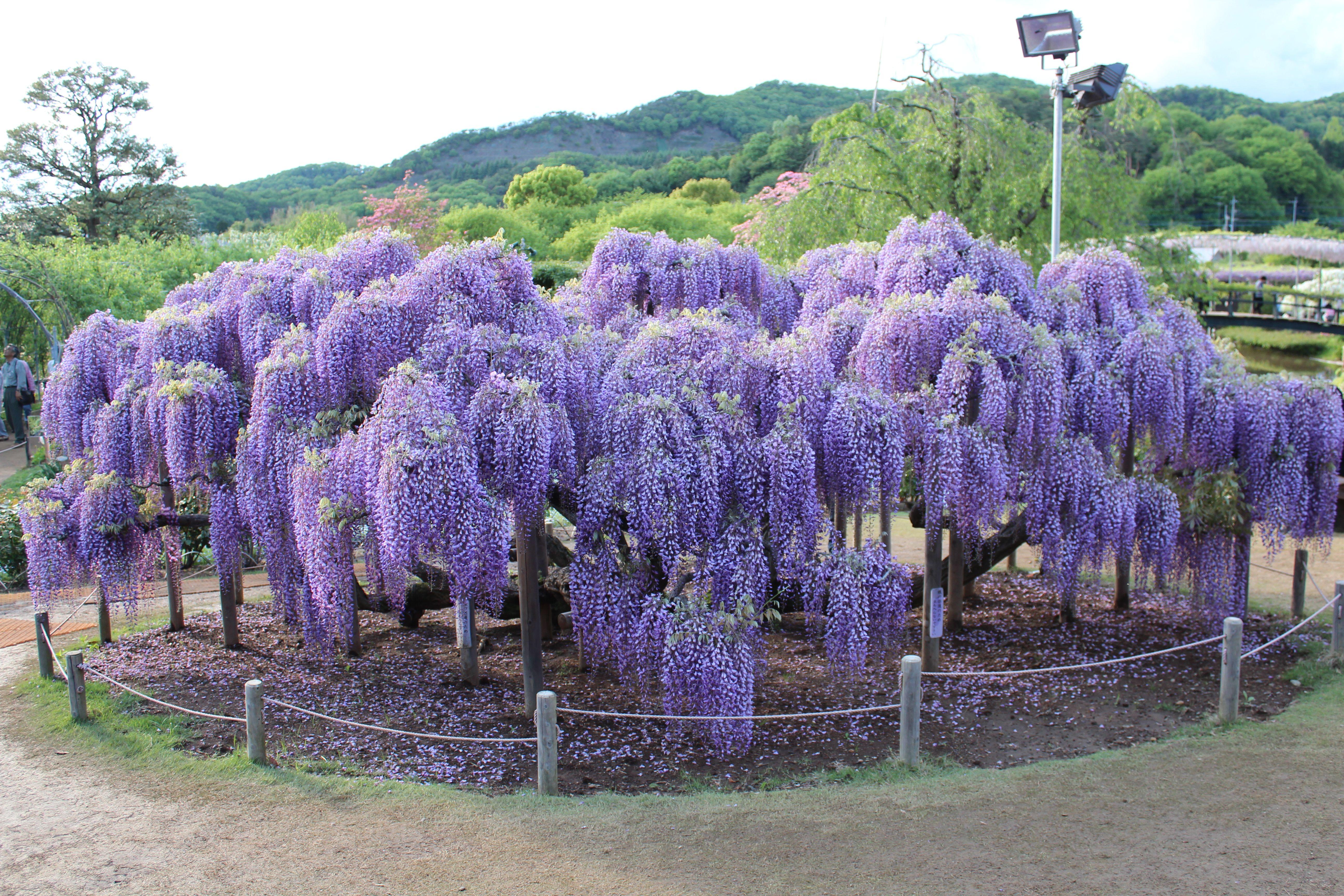 Purple Wisteria Tree Plants Wisteria Tree Wisteria How To Grow