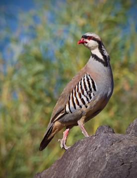 The chukar was first introduced in nevada in 1935 when the for Nevada game and fish