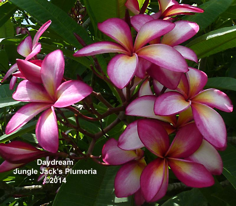 Daydream Hawaiian Flowers Frangipani Plumeria