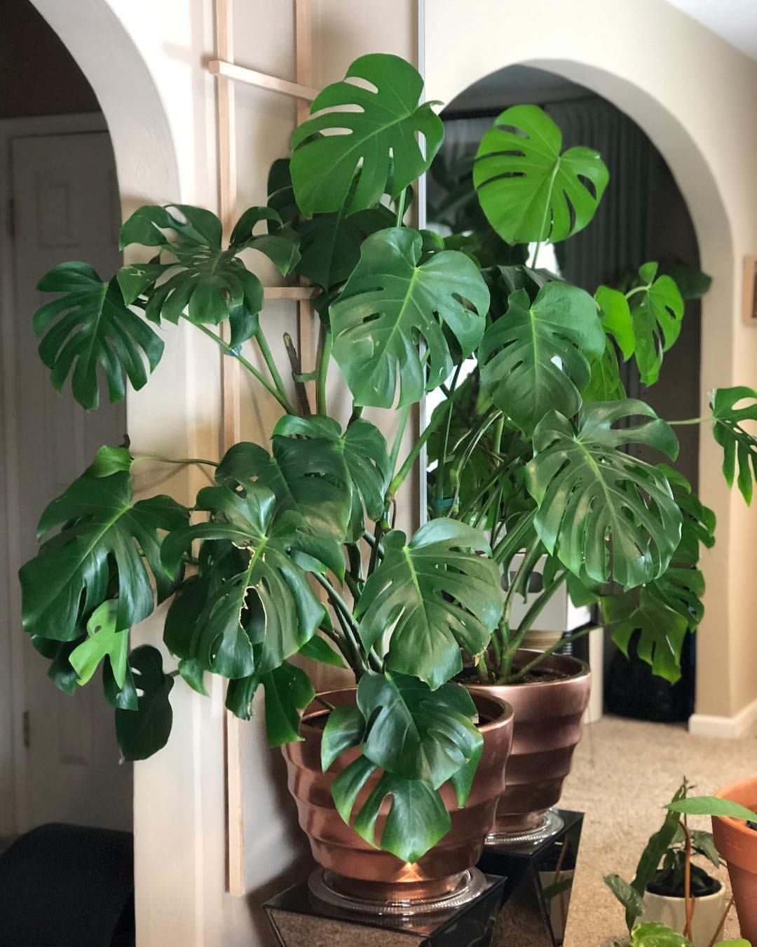 With The Help Of Our Grow Light Easybrightnet The Leaves On Our Monstera Have Settled And Face Towards Us We R Grow Lights House Plants Indoor Plant Leaves
