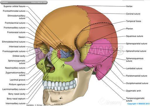 Skull Anatomical Illustrations Anatomy Bones Skull Anatomy Dental Anatomy
