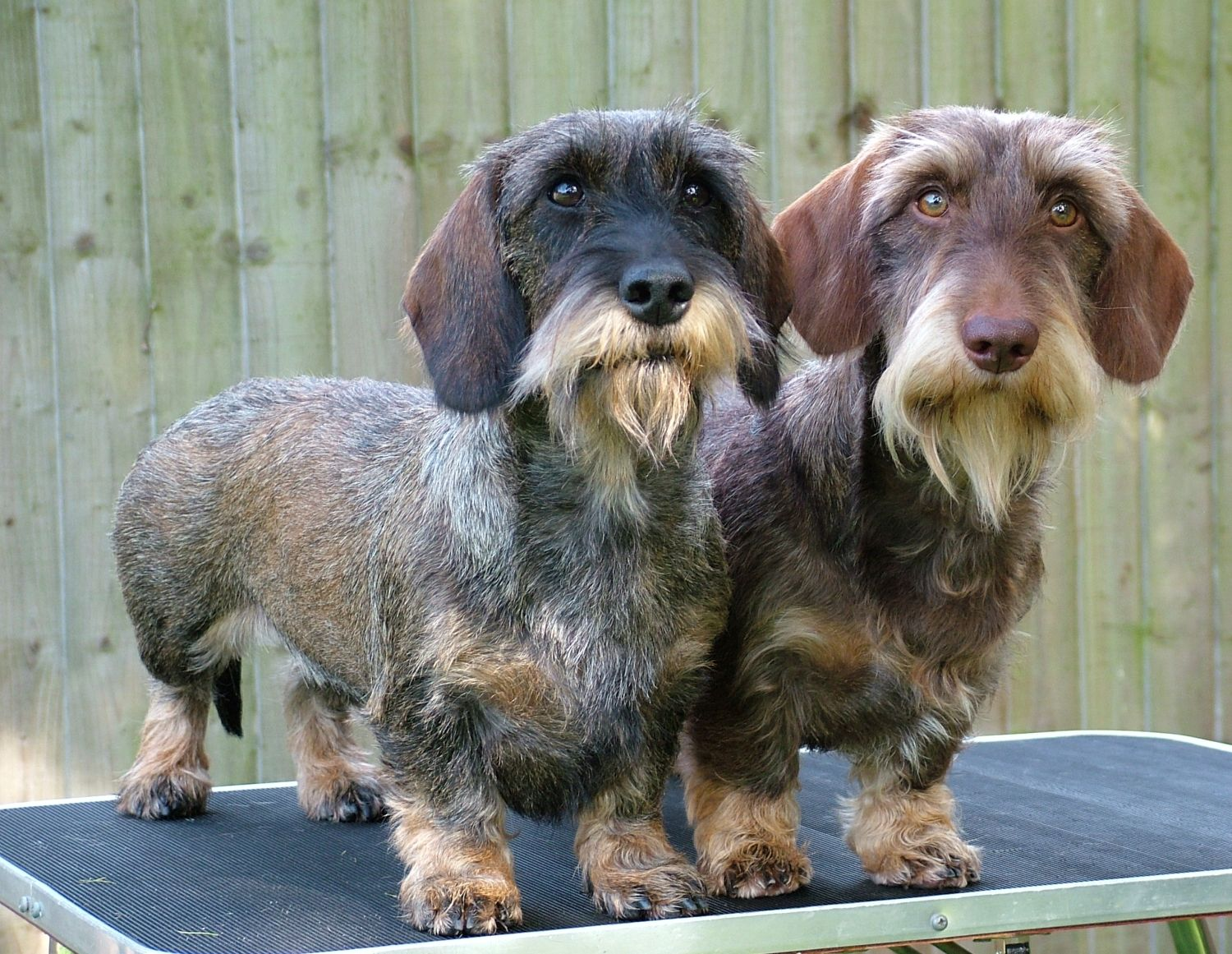 Crunchie And Cadbury Posing Wire Haired Dachshund Dachshund Love Wirehaired Dachshund Puppy