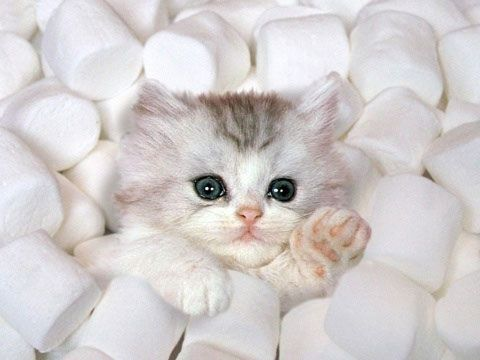 soooo cute.  But who had this idea?:  We need a kitten.  In marshmallows.