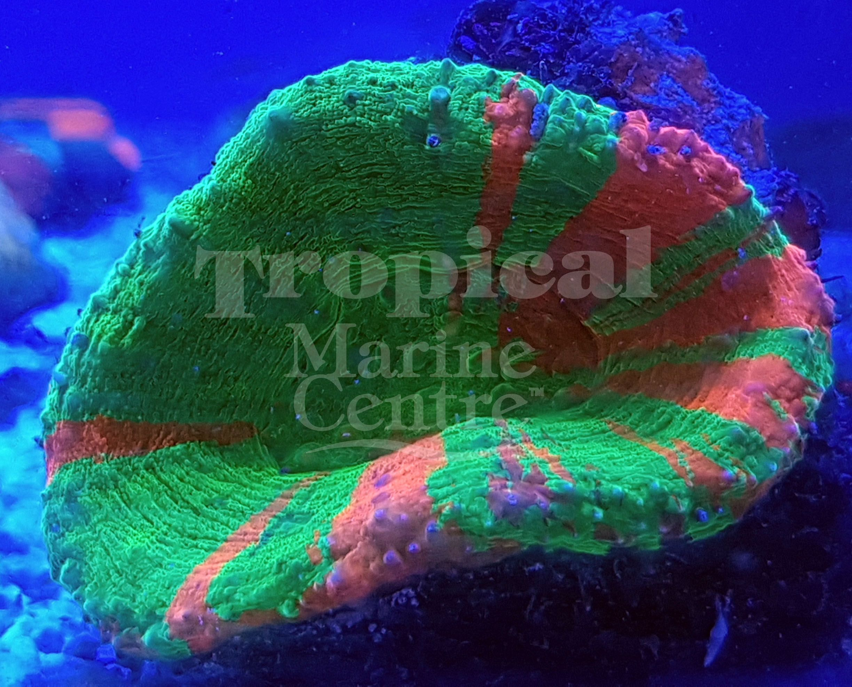 Bleeding Apple Scoly Scolymia Australis Holy Scoly Tmc Tropicalmarinecentre Tmclookforthelabel Livecoral A Saltwater Tank Saltwater Aquarium Reef Tank