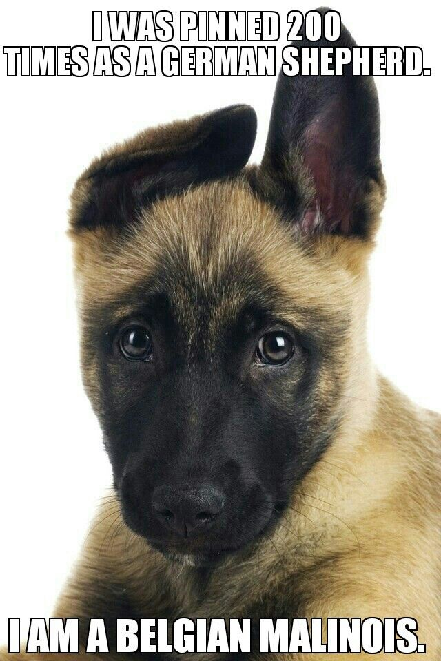I Found This On Google Belgian Malinois Owners Are Getting Annoyed Wish I Knew The Original Owner Of Belgian Malinois Puppies Belgian Malinois Malinois