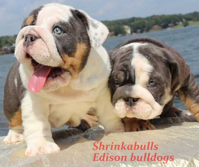 Shrinkabulls Katana English Bulldog French Bulldog Dogs Animals