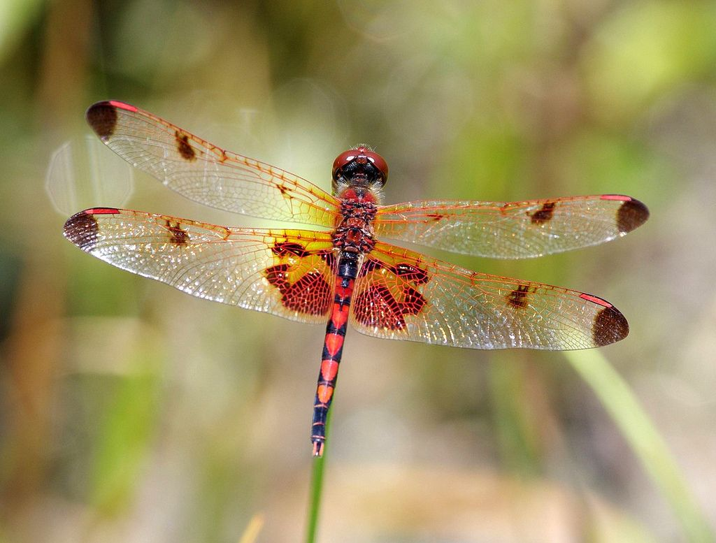 Calico Pennant Gossamer wings, Flying insects, Types of