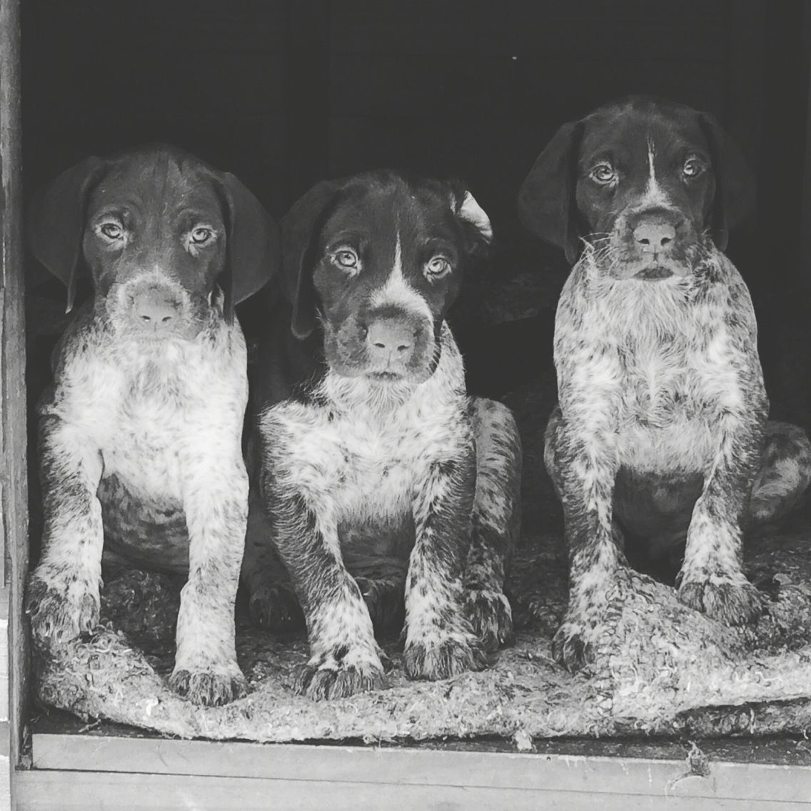 German Shorthaired Pointer Puppies 6 weeks