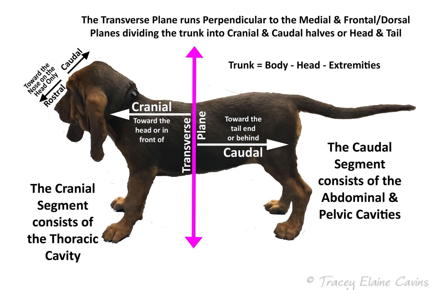 Pin By Tracey Cavins On Veterinary Anatomy Physiology Anatomy And Physiology Vets Veterinary [ 1180 x 1770 Pixel ]