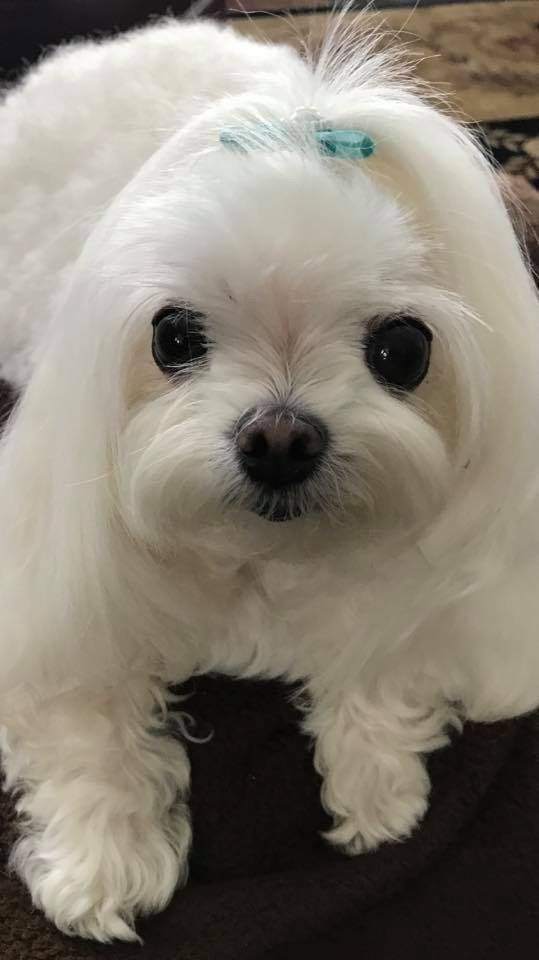 Sweet Face Teacup Puppies Maltese