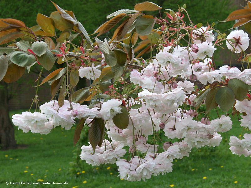 Shirofugen Flowering Cherry Garden Plants Plants Garden