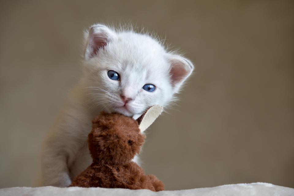 Adorable 3 Week Old Siamese Kitten Newborn Kitten Photoshoot