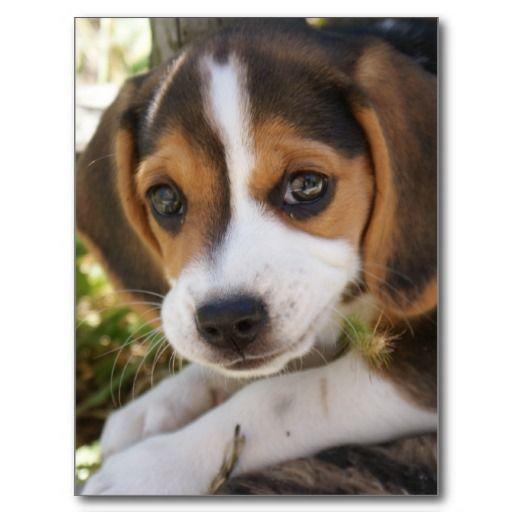 Puppy Dog Beagle Post Cards  so cute beagles!