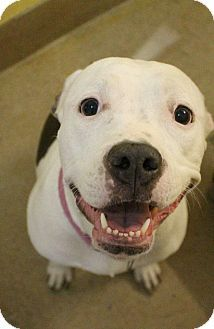 American Staffordshire Terrier Mix Dog For Adoption In Canon City