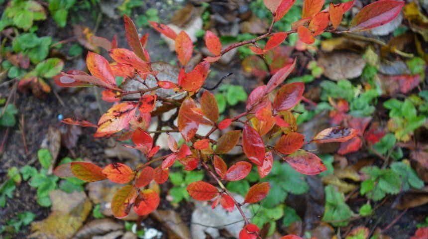 стихи красные листья у голубики фото душе заниматься