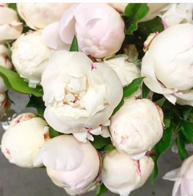 White peonies flowers pinterest white peonies peony and flowers white peonies mightylinksfo