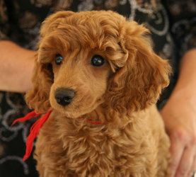 Adopt Kac Minature Poodle Puppies On Poodle Red Poodles Puppies