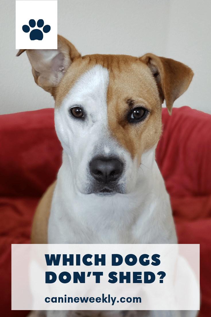 13 Big Dogs That Don T Shed Large Non Shedding Dog Breeds Low Shedding Dogs Low Shedding Dog Breeds Dogs