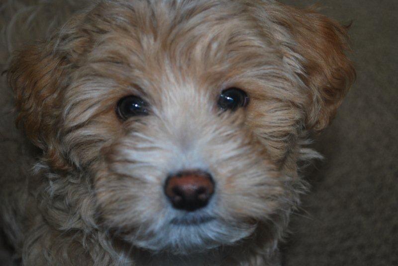 Havapoo Get One 3 Havapoo Puppies Puppies Cute Animals