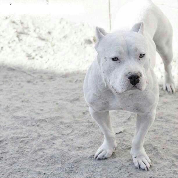 Loveable Pitbull Rare Color To See Pic Priceless Pitbull