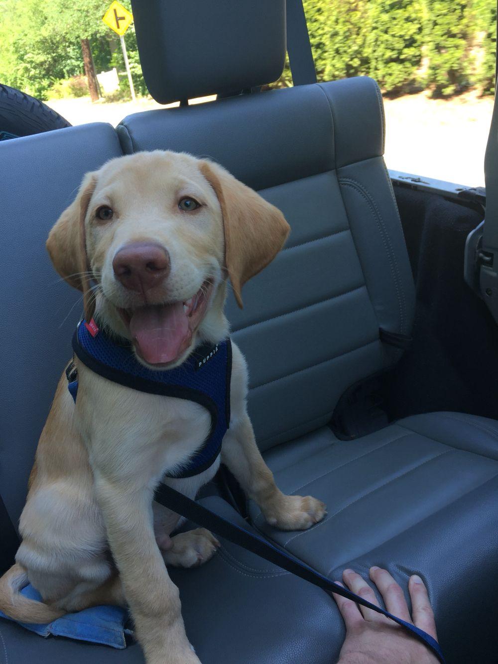 Labrador retriever puppy Labrador retriever puppies