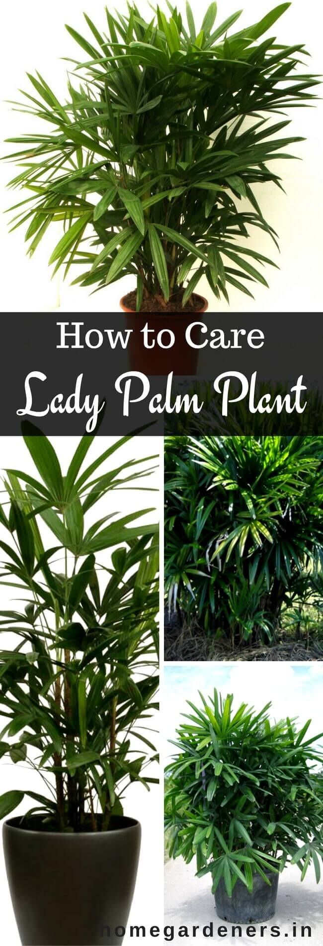 Rhapis Palm Care How to Grow and Care for the Lady Palm