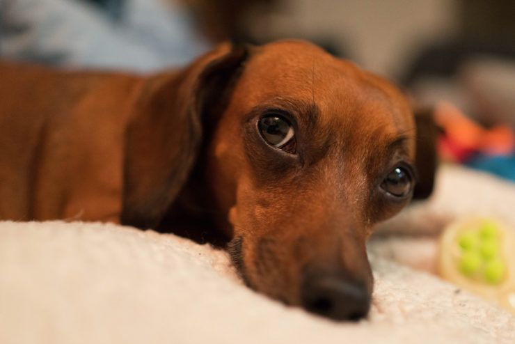 What Is The Best Food For A Mini Dachshund Mini Dachshund Dog