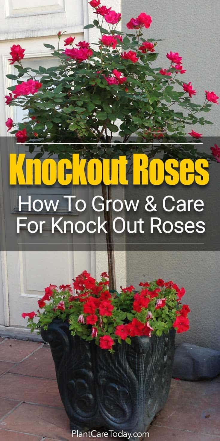 Roses In Garden: Grow Beautiful Knock Out Roses [5