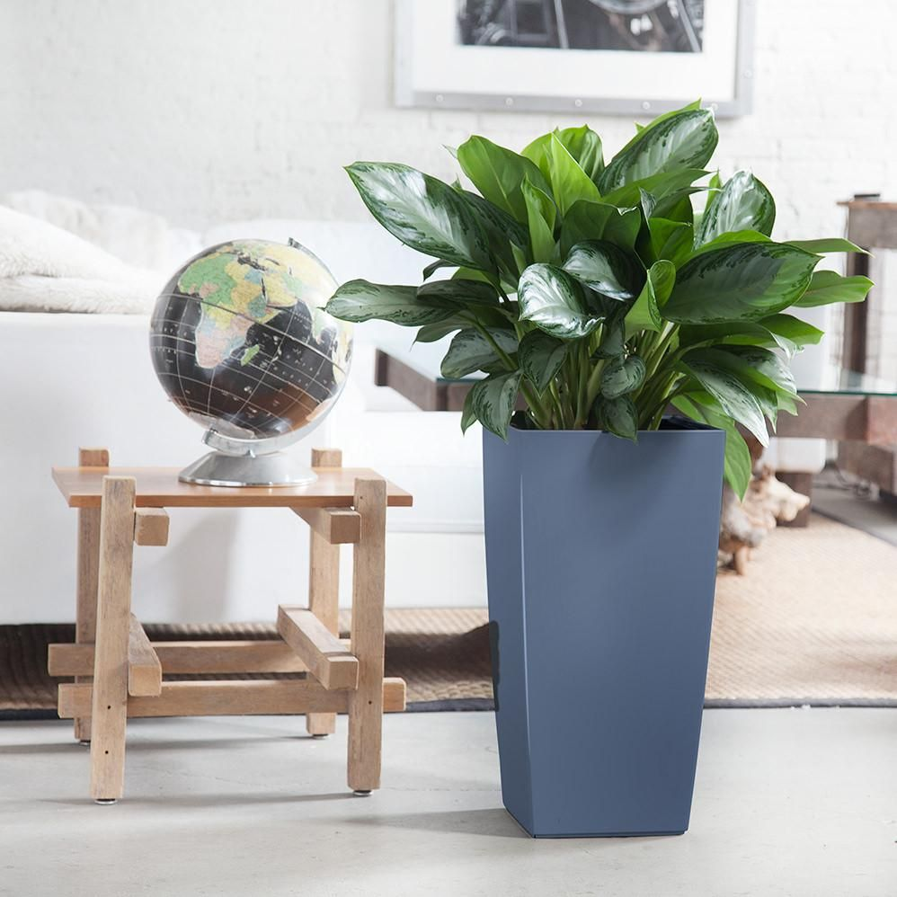 Aglaonema cubico slate living room plants indoor plants
