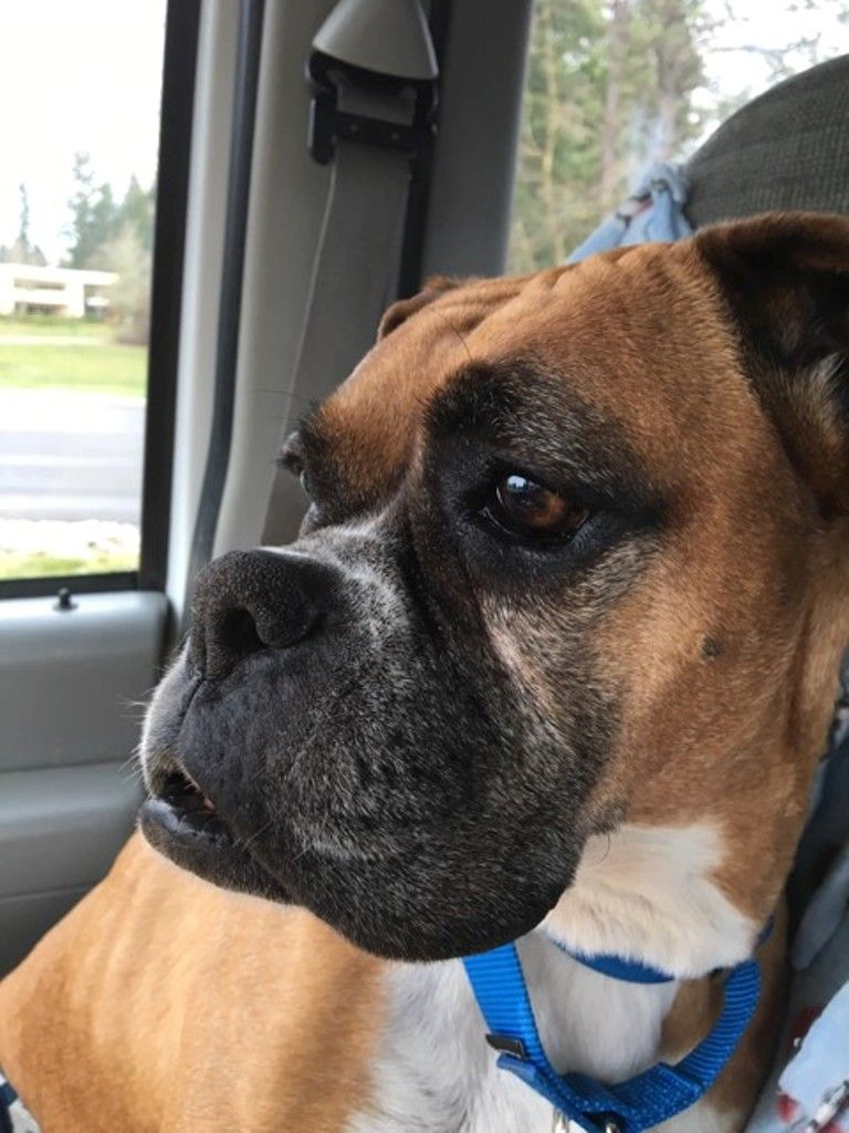 Boxer dog for Adoption in Battle Ground, WA. ADN772588 on