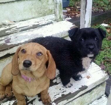 Craigslist Free 8 Weeks Old Labrador Retriever Pets Dogs