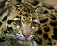 petition: Help Save the Clouded Leopard   Clouded leopard ...