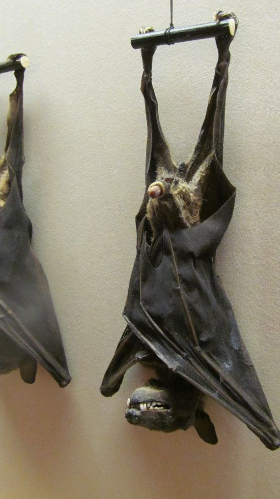 Taxidermy Java Bat Biggest on Etsy MATURE by shrunkenheaddotcom