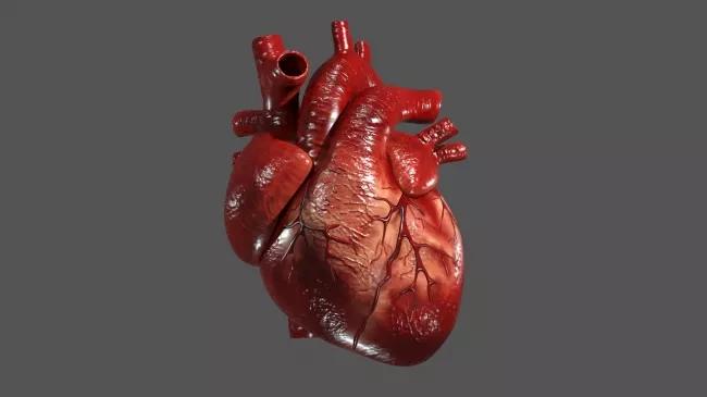 Human Heart Human Heart Human Heart Drawing Human Heart Art