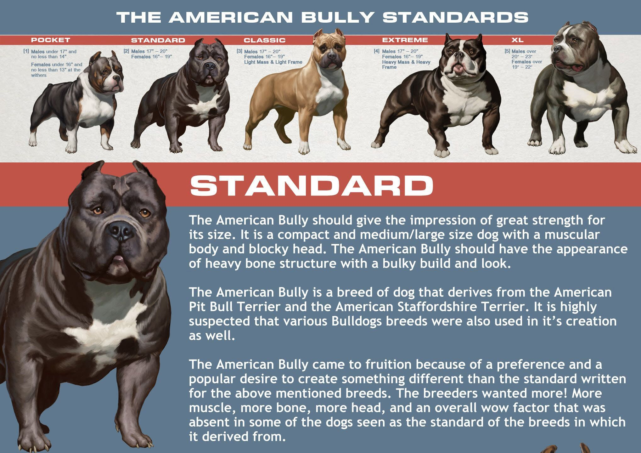 Abkc Classes Determine What Class Your Bully Belongs In American Bully Bullying American Dog