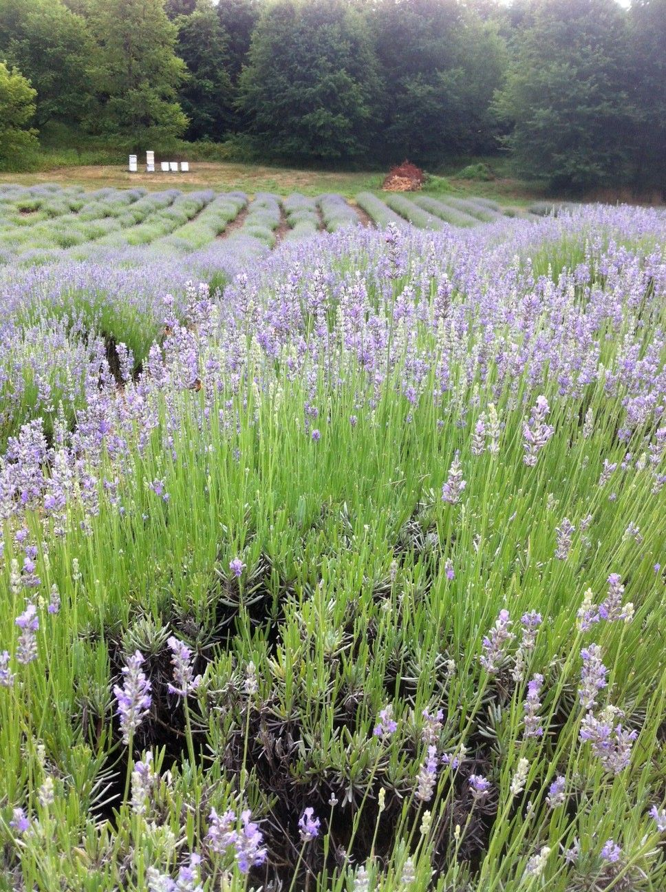 Lavender farm in Niles, MI, where you can pick your own lavender.