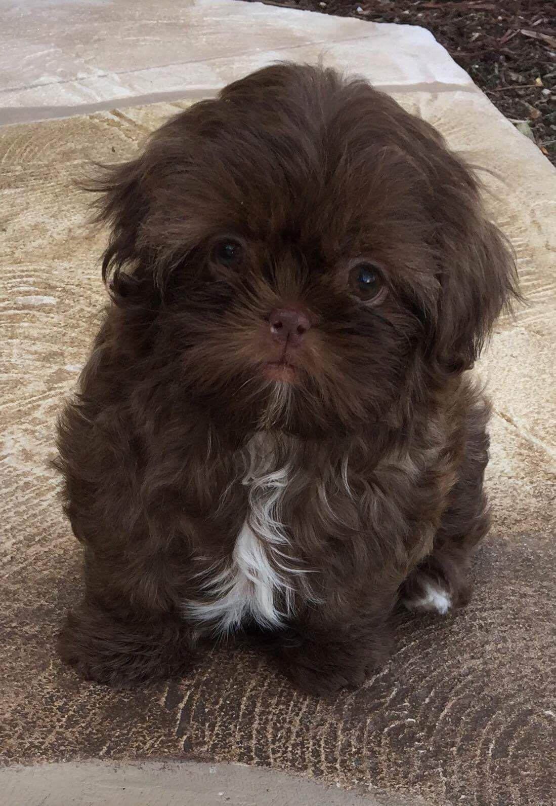 Pin On Dog Breeds Shih Tzu