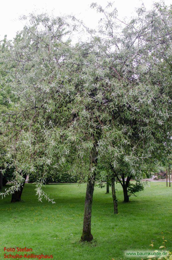 Weidenbl ttrige birne pyrus salicifolia habitus lteres exemplar familie rosaceae garten - Gartenpflanzen bestimmen ...