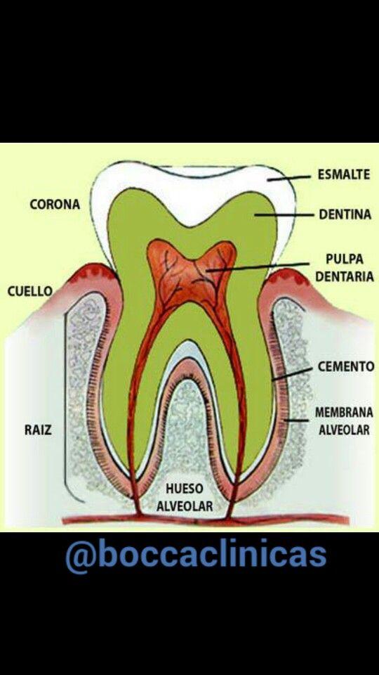 Anatomía dental, partes de un molar #boccaclinicasd | bocca clinicas ...