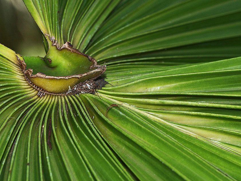 Ливистона китайская - Livistona chinensis, ливистона фото ...