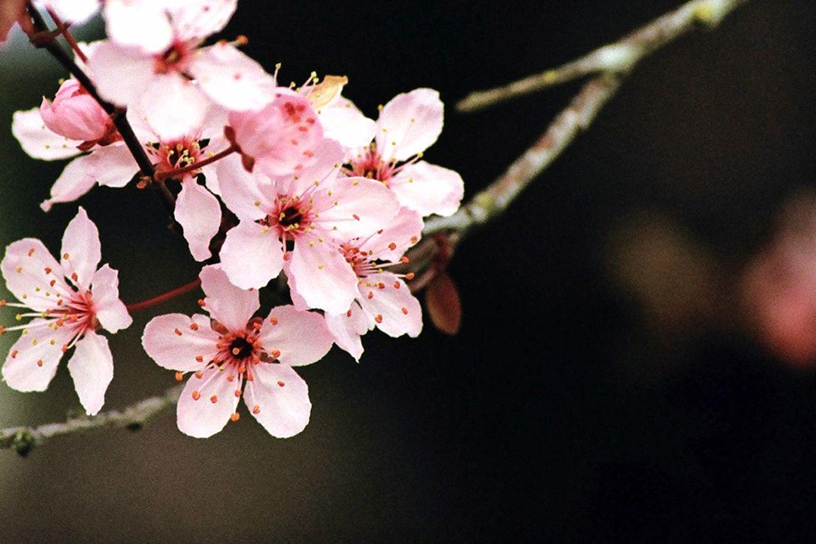 Japanese Cherry Blossom Desktop Wallpaper Photography