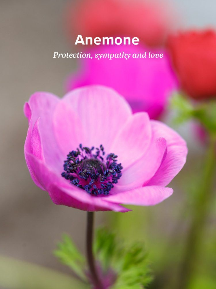 History And Meaning Of Anemones Anemone Flower Anemone Flower Meanings