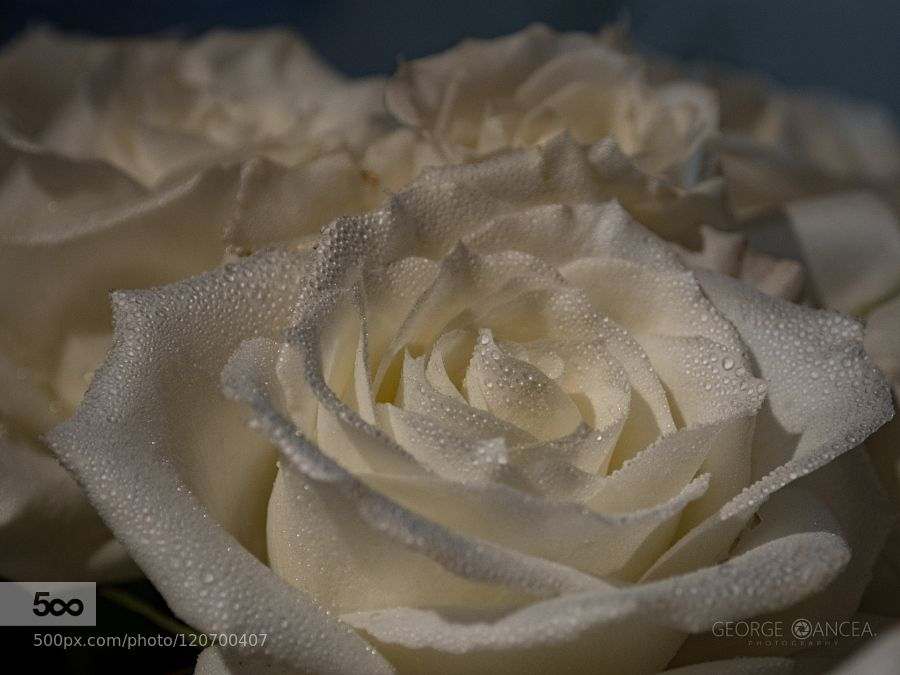 White rose by georgeoan. Please Like http://fb.me/go4photos and Follow @go4fotos Thank You. :-)