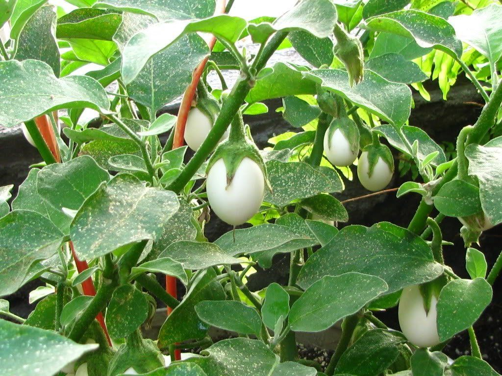 Easter Egg Plant Easter Eggplant Ornamental Eggplant Nest Egg