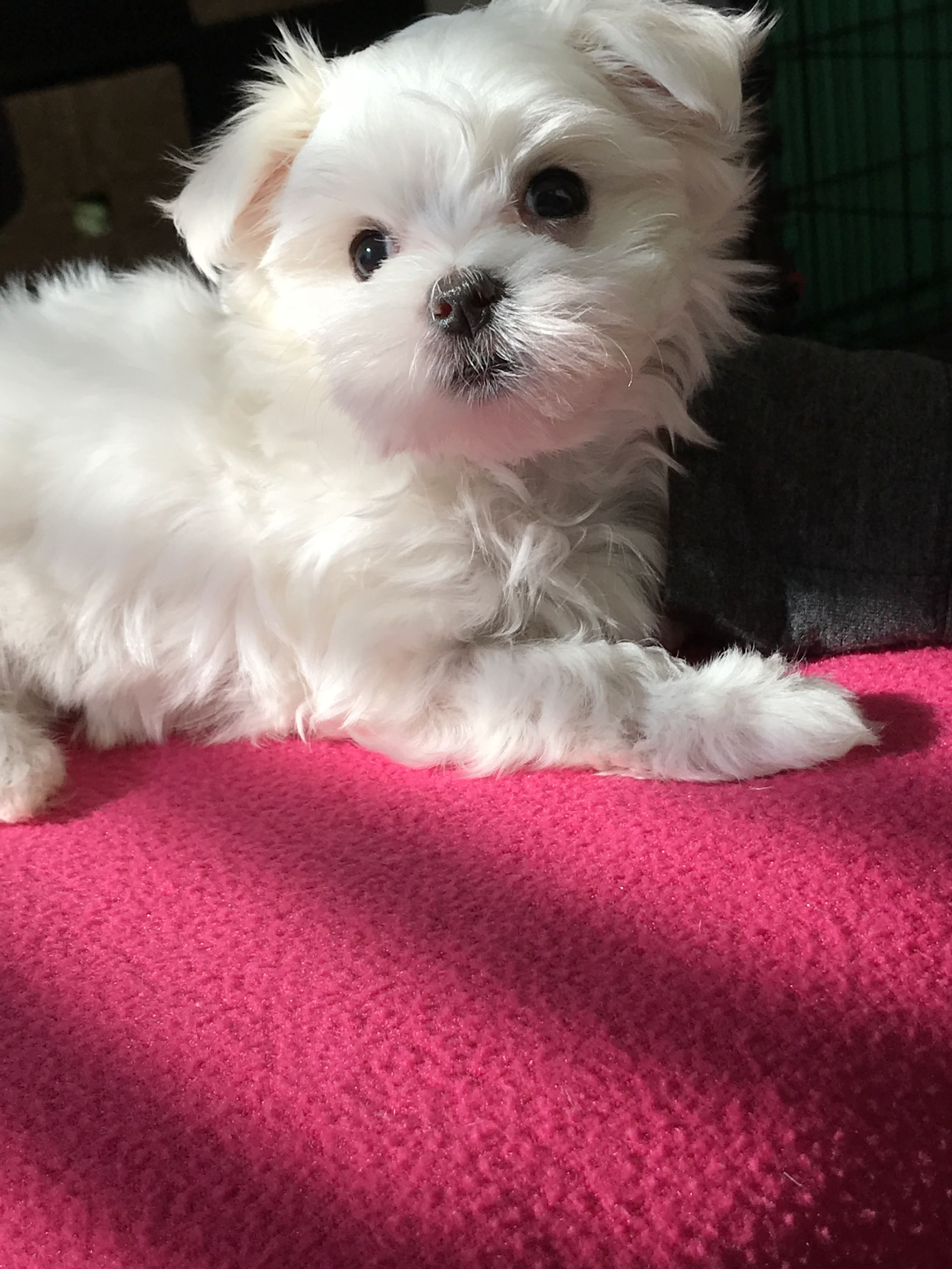 Adorable 2 Month Old Maltese Puppy Maltese Puppy Maltese Dogs